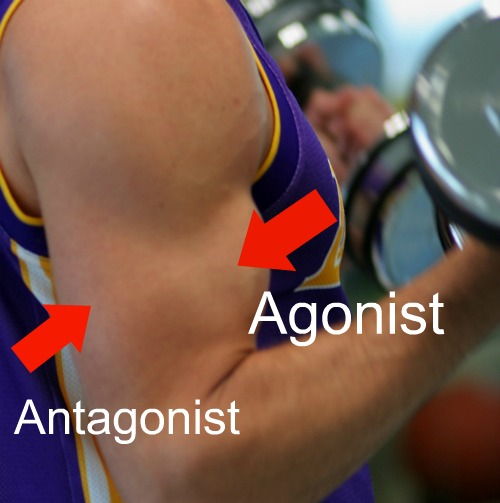 Antagonist-Muscle-Are-The-Important-Body-Muscle-1